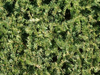 yew hedge - Value Stock Photo