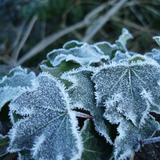 frost covered ivy