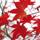 vivid autumn red