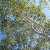 gum tree leaves