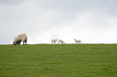 Grazing Sheep And Lambs