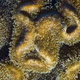 leather coral extended polyps