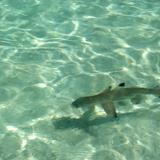 Blacktip reef shark in shallow water