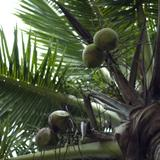 Ripening coconuts in a palm tree