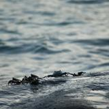Small marine crabs on a rock