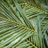 Cut and harvested palm fronds