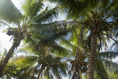 Coconuts and coconut palms