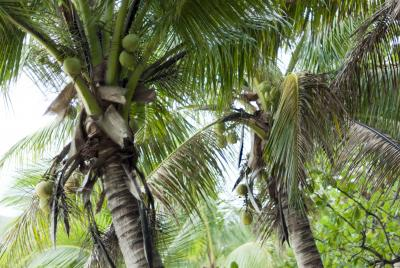 Crop of coconuts in palms